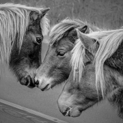 three_assateague_ponies