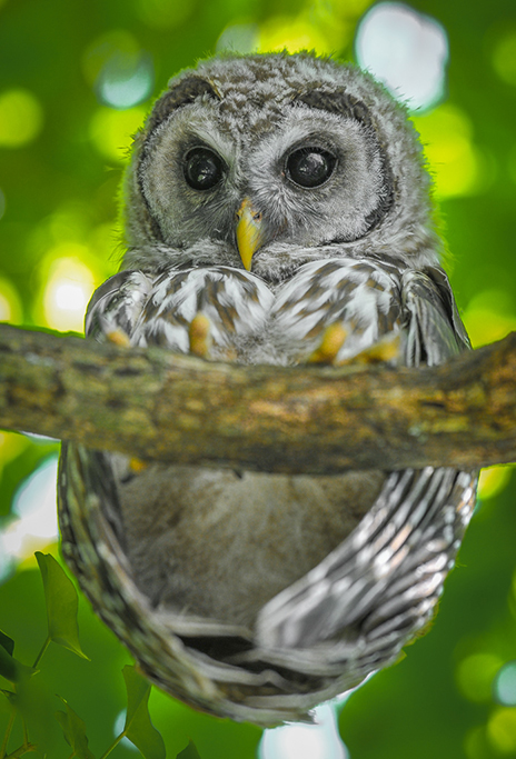 Barred Owl From Below
