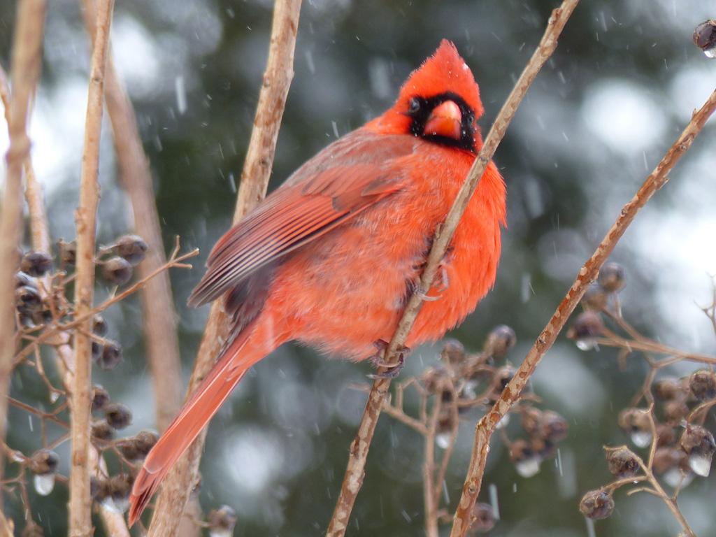 Cardinal_in_Snow