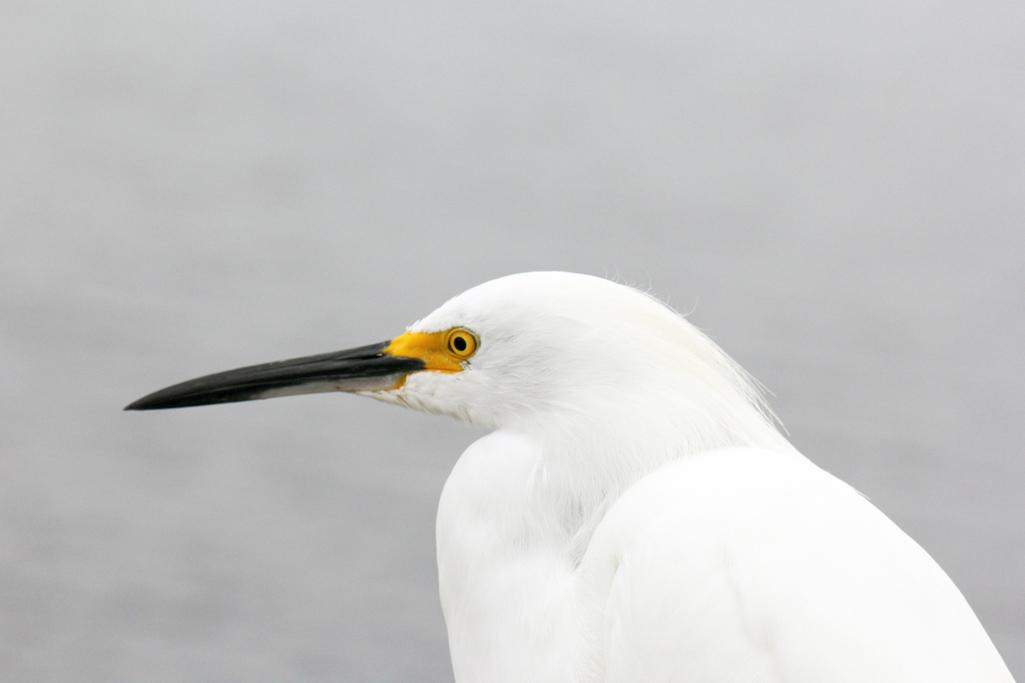 Egret_Posing
