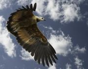 Black_Collared_Hawk