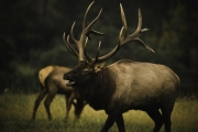 Elk_on_the_run