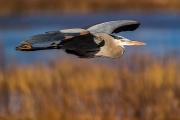 blackwater_heron