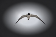 laughing _gull