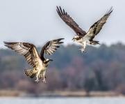 osprey_courtship