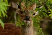 sika_deer