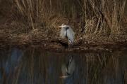 storm_water_great_blue_heron