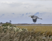 Heron_in_flight