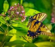 Tiger_Swallowtail_Landing