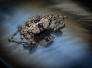 jumping_spider