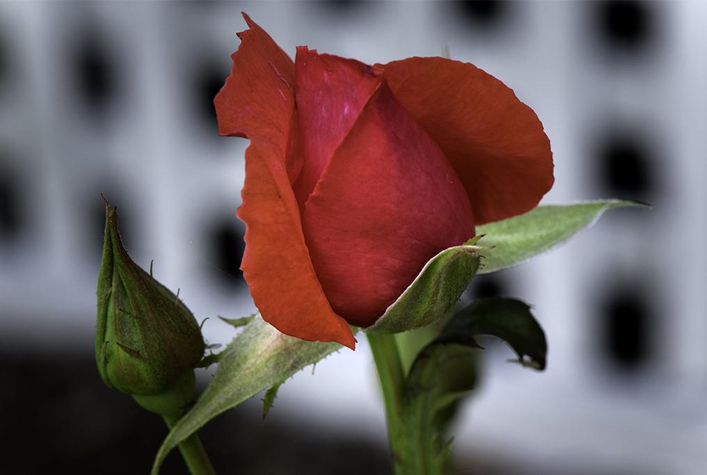 budding_rose