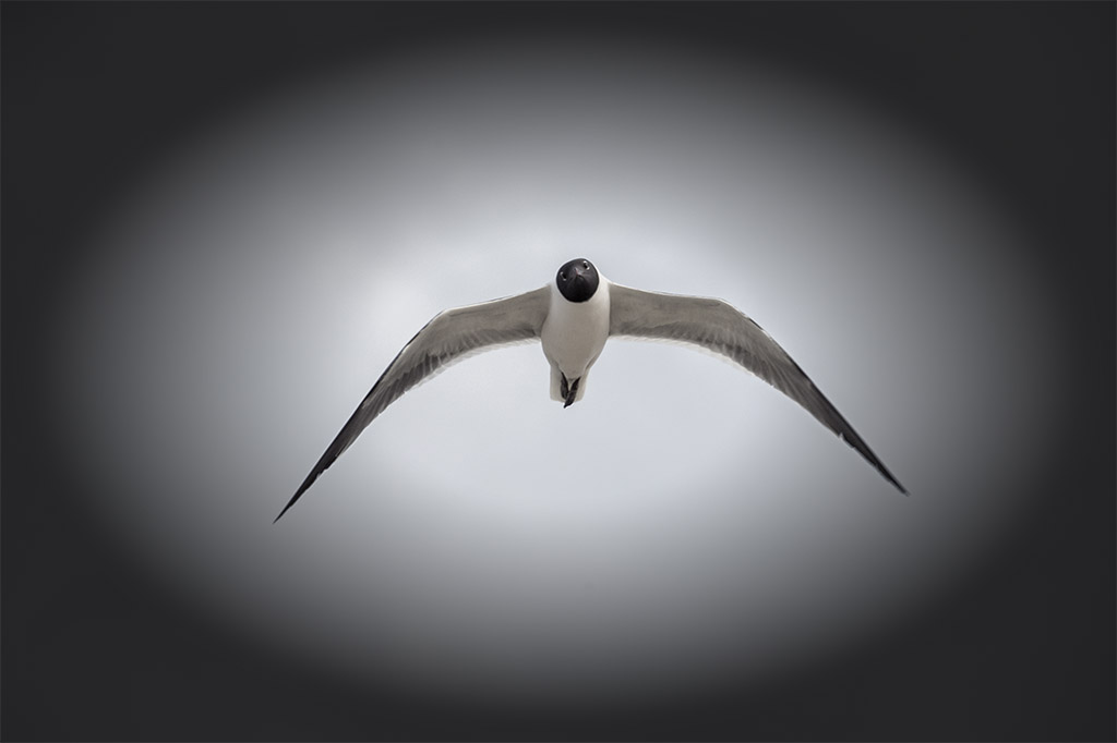 laughing _gull