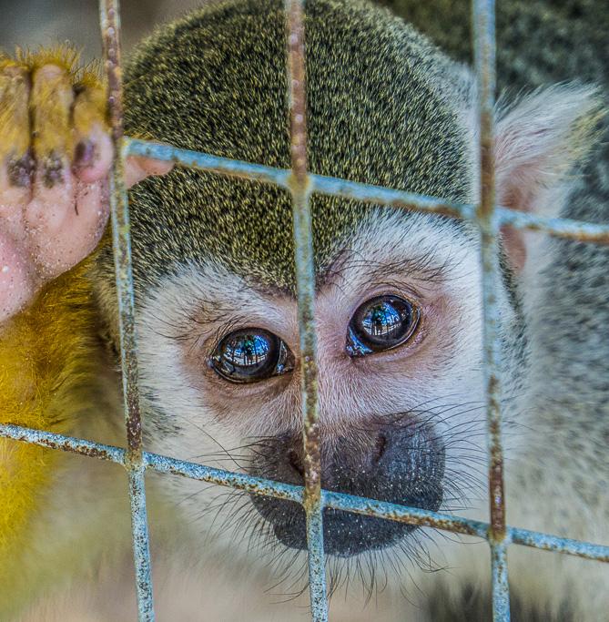 lemur_pleading