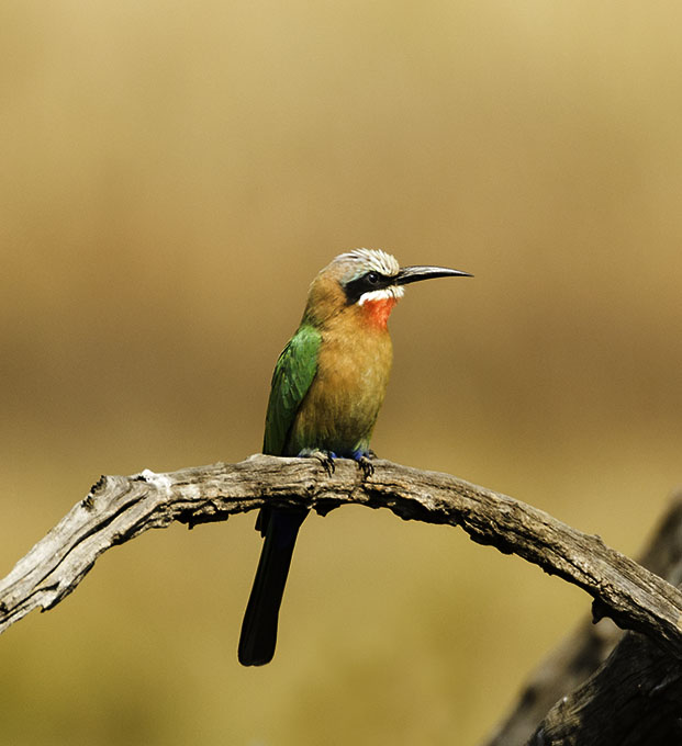 white_fronted_bee_eater