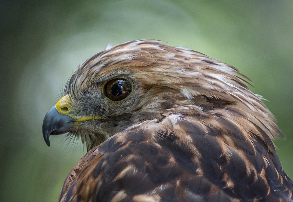 Hawk_Profile1