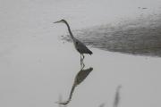 blue_heron_reflection