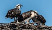osprey_call