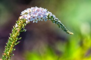 Tiny_Flowers