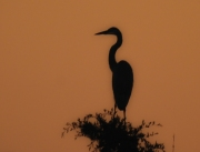 heron_at_sunrise
