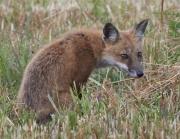 bombay_hook_fox