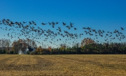 Geese_take_off