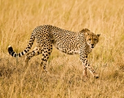 Cheetah_Mother