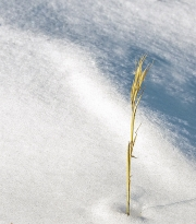 grass-in-snow-78-a