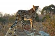 posing-cheetah_040_a