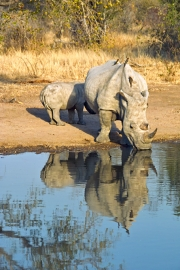 rhinos-x-2_040_a
