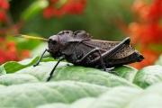 Black_grasshopper