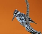 Kingfisher at twilight