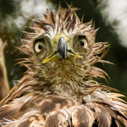 Mad Red-Tailed Hawk
