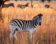 zebra_at_dawn