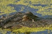 audibon_swamp