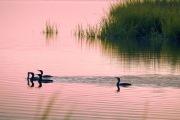 bombay_hook_cormorants