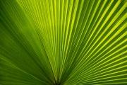 fan_palm