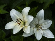 Two_Lilies