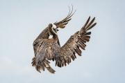 a_strange_bird_the_pelican