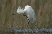 egret_with_itch
