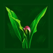 for_love_of_calla_lilies