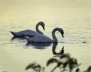 swans_bombay_hook