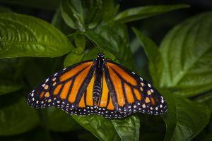My_Monarch